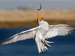 Ngoạn mục khoảnh khắc chim biển săn mồi chuyên nghiệp