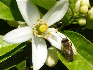 Nghiện caffeine, ong chăm chỉ hơn