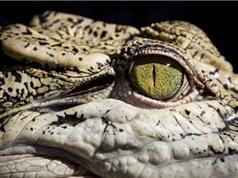 Cá sấu ngủ với chỉ một mắt