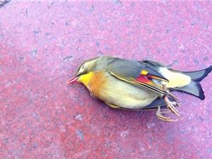 Bí ẩn chim kim oanh mỏ đỏ tự sát tập thể