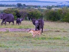 Voi mẹ liều mình tử chiến đàn sư tử bảo vệ con