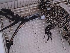 Thằn lằn 6 đuôi đầu tiên trên thế giới