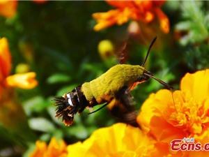 """Phát hiện loài bướm """"lai"""" chim ruồi cực hiếm ở Trung Quốc"""
