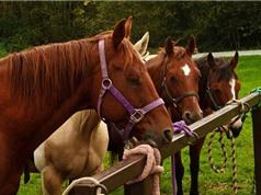 Điểm những khám phá đáng ngạc nhiên về loài ngựa
