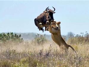 Linh dương khôn lanh đánh bại sư tử thoát chết