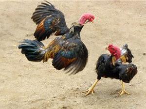 Những sự thật thú vị về loài gà ít ai biết