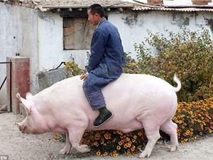 Kinh ngạc lợn khổng lồ thoát chết nhờ thân hình béo ú