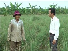 Bến Tre áp dụng kỹ thuật trồng sả trên đất nhiễm mặn