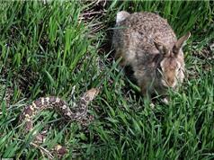 Kịch tính cảnh thỏ mẹ đánh bại rắn bảo vệ con