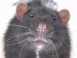 Phát hiện loài chuột cổ đại khổng lồ, gấp 10 chuột hiện đại