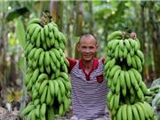 Bỏ túi 7 tỷ đồng mỗi năm nhờ trồng chuối nuôi cấy mô