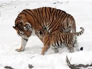 Những sự thật ít biết về hổ Siberia - Chúa tể của rừng Taiga