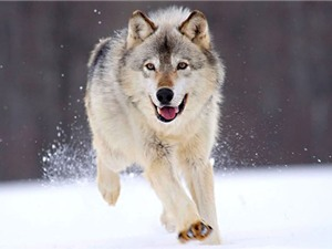 Những khám phá gây sửng sốt về loài chó sói