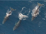 Ngoạn mục cảnh 60 cá voi lưng gù mở tiệc trên biển