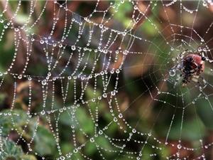 """Loài nhện cắt bộ phận sinh dục của bạn đời để ngăn """"ngoại tình"""""""