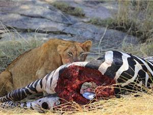 Khoảnh khắc đẫm máu khi sư tử cái chén thịt ngựa vằn