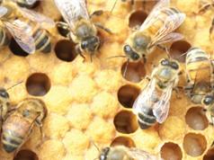 Con người khai thác ong từ 8.500 năm trước