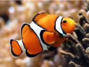 Những sự thật thú vị khó đoán về cá hề