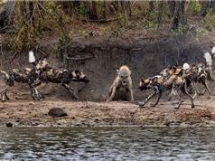 Linh cẩu chiến đấu anh dũng trong vòng vây bầy chó hoang