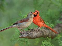 Thử thách tình yêu với loài chim: Thà chết đói chứ không xa bạn tình