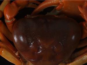 Phát hiện loài cua mới ở Bình Thuận