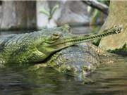 Những loài cá sấu có vẻ ngoài đáng sợ nhất hành tinh