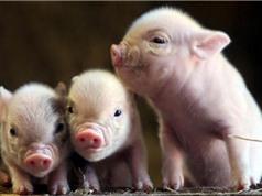 Khám phá độc đáo về loài lợn ngay quanh chúng ta