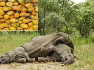 """Clip: """"Chết cười"""" với cảnh động vật say xỉn vì ăn trái cây lạ"""