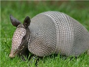 Những thông tin ít biết về loài Tatu