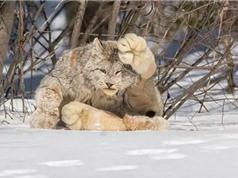 Kỳ lạ loài mèo quý hiếm có bàn chân khổng lồ