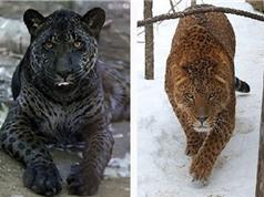 Chùm ảnh những động vật lai có vẻ ngoài kỳ quặc nhất