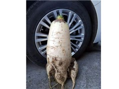 Trung Quốc phát hiện củ cải trắng to gần bằng lốp ôtô
