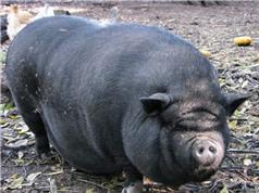 """Bảo tồn các nguồn gene quý: Lo gà Đông Tảo """"nối gót"""" lợn ỷ đen"""