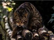 Tìm hiểu về loài mèo rừng quý hiếm nhất thế giới