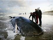 Cá nhà táng khổng lồ chết hàng loạt ở bờ biển Hà Lan
