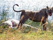 """Màn săn mồi đáng sợ của sư tử """"khát máu"""""""