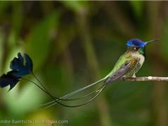 Hé lộ những bí mật về loài chim ruồi