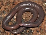 Phát hiện giun khổng lồ kích thước bằng con rắn