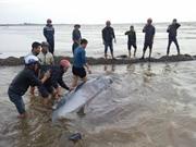 Nam Định: Giải cứu thành công cá voi 3 tấn dạt bờ