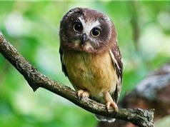 Những sự thật khó tin nổi về loài chim cú