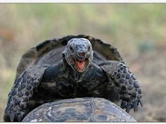 Phát hiện cách loài Rùa quan hệ tình dục qua mai