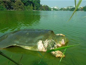 Khám phá ít người biết về giống rùa Hồ Gươm