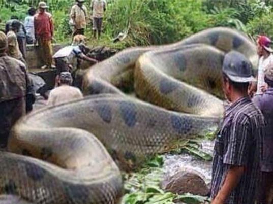 Phát hiện trăn khổng lồ dài hơn 40m
