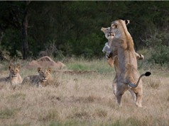 """Khám phá trò chơi """"đấu vật"""" của sư tử"""
