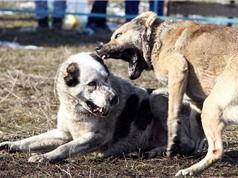 Toàn cảnh cuộc thi chọi chó kinh hoàng ở Kyrgyzstan