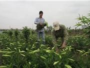 """Người trồng hoa đang """"đói"""" giống bản quyền"""