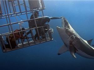 Thợ lặn Mexico mạo hiểm chạm vào mũi cá mập trắng