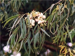 Kỳ lạ dùng cây để dò tìm vàng