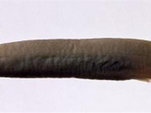 Giải oan cho loài cá thích chui vào bộ phận sinh dục người
