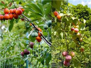 Chuyện khó tin: 40 loại quả mọc trên cùng một cây